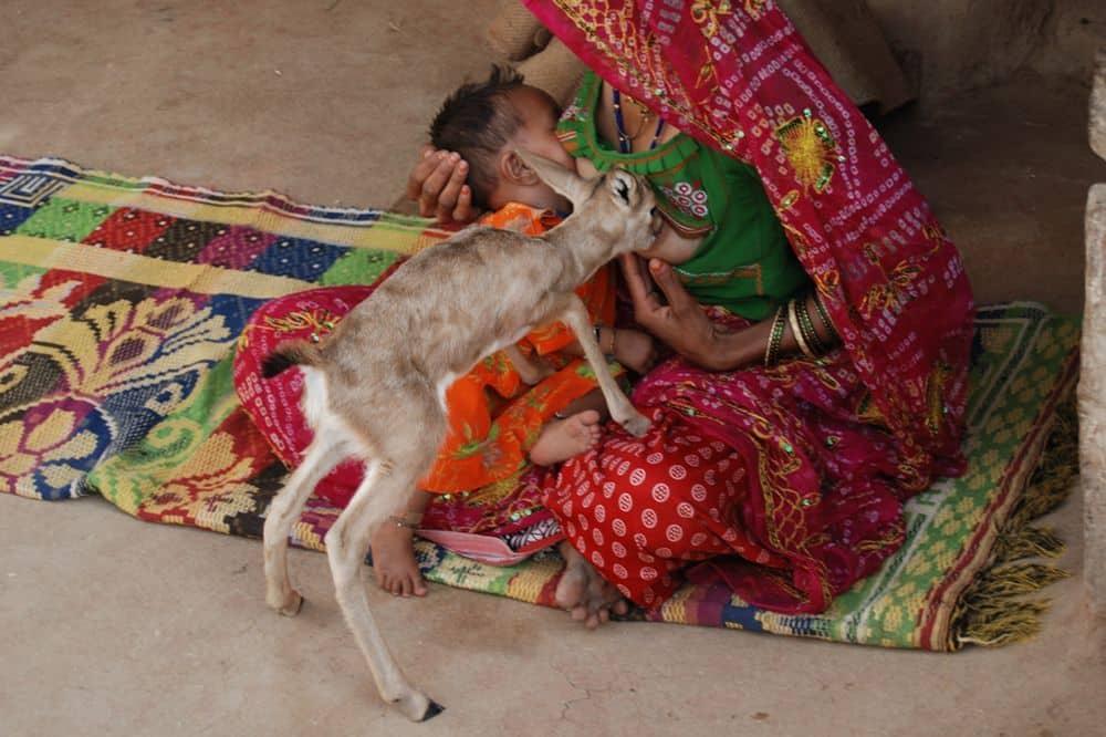 bishnoi-woman-feeding-black-buck